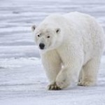 Polar Bear on thinning ice