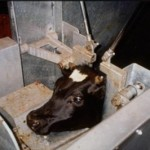 Cattle, mechanically immobilized before being stunned and slaughtered