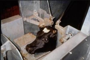cattleforslaughter