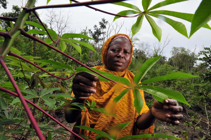 A cassava farmer in Ghana's Northern Region. (Neil Palmer with CIAT via Flickr)